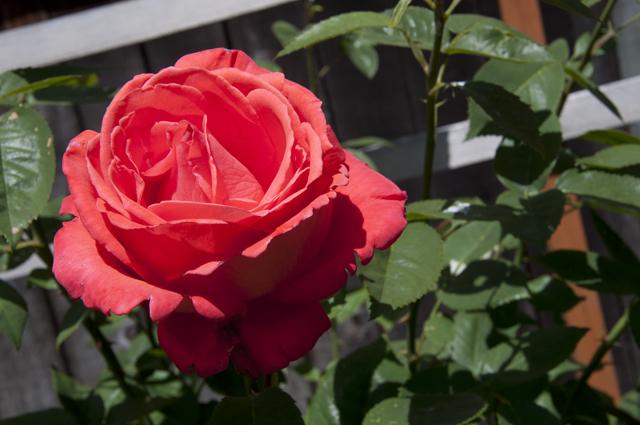 Rose_Coral_01
