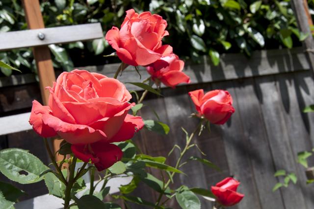 Rose_Coral_02